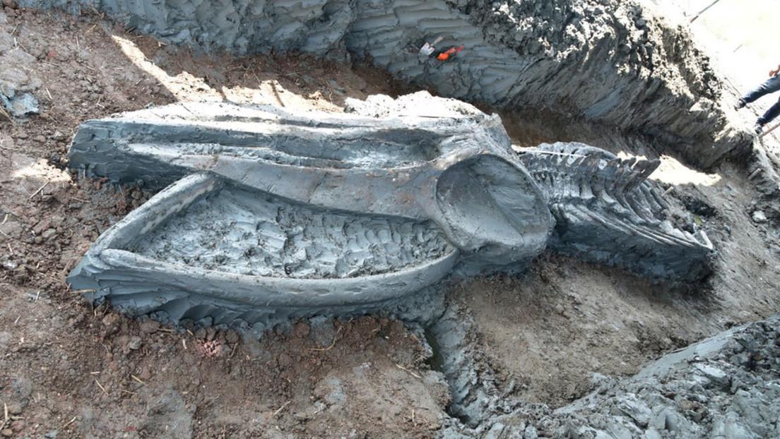 FOTO: Hallan un esqueleto de ballena de hace unos 5.000 años perfectamente conservado lejos de la costa en Tailandia