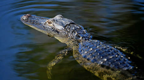 VIDEOS: Krokodile dringen inmitten der Überschwemmungen im Südosten Mexikos in die Straßen von Tabasco ein