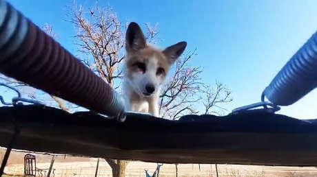 Graban a un zorro saltando en un trampolín en una reserva animal (VIDEO)