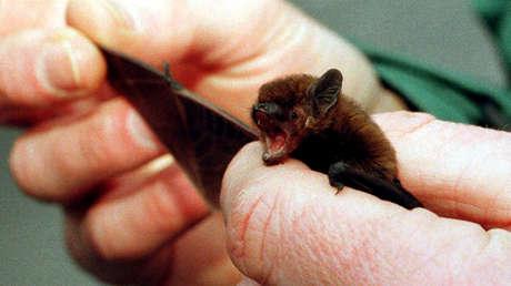 Encuentran parientes del coronavirus en murciélagos congelados en laboratorios en Camboya y Japón