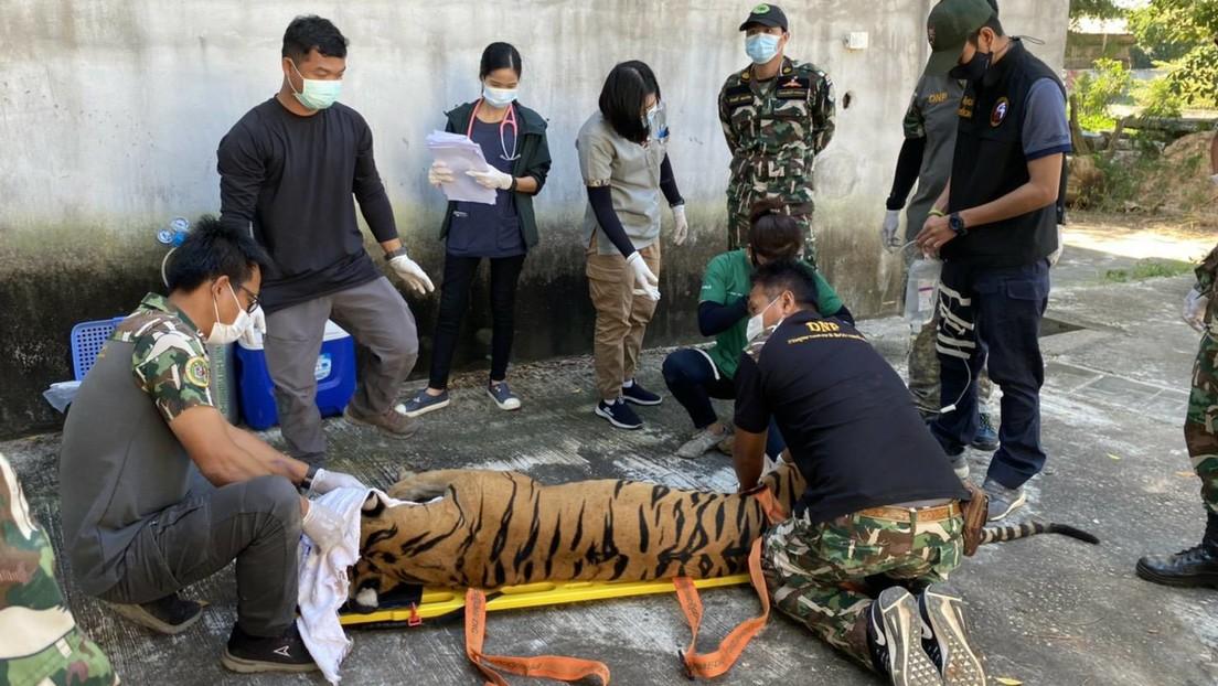 Un zoológico se convierte en una cámara de los horrores para una veintena de tigres en Tailandia