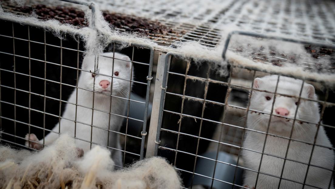 Visones infectados con covid-19 escaparon de granjas en Dinamarca y se teme que creen un reservorio que podría extenderse a los humanos