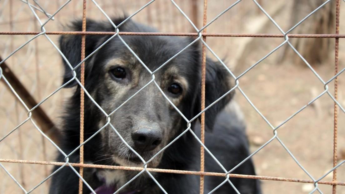 Amputan las cuerdas vocales y encierran en jaulas para conejos a perros en un criadero ilegal en España (VIDEO)