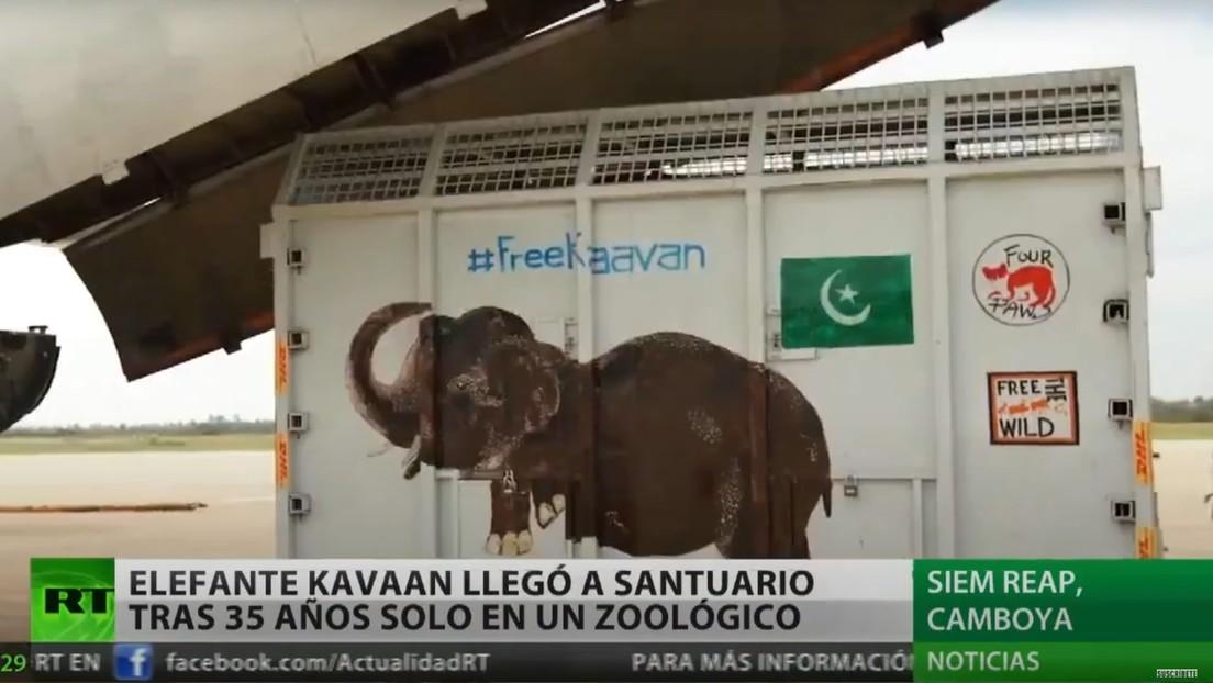 """El """"elefante más solitario del mundo"""" llega a un santuario en Camboya tras 35 años de condiciones deplorables en un zoo pakistaní"""