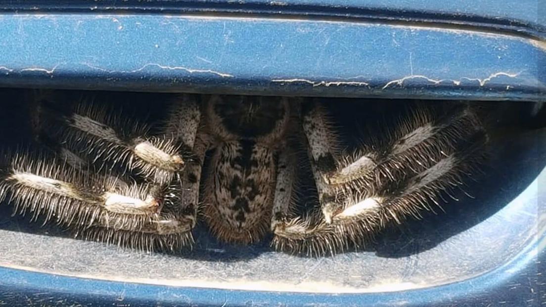 FOTOS: Una mujer australiana descubre una enorme y terrorífica araña escondida en la puerta de su auto