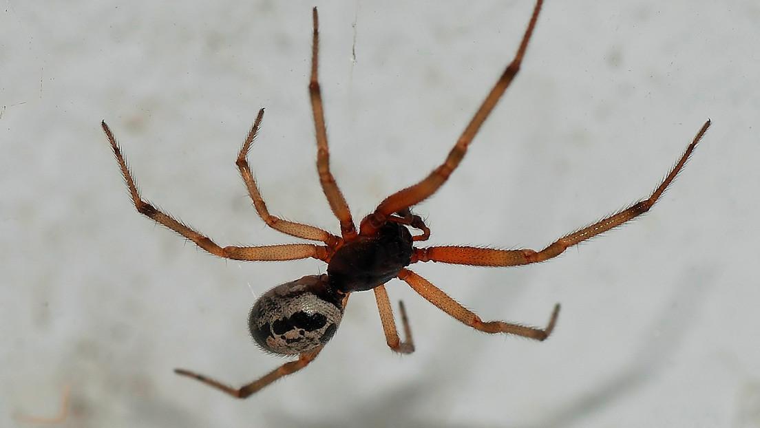Esta araña puede transmitir peligrosas bacterias resistentes a los antibióticos a los humanos