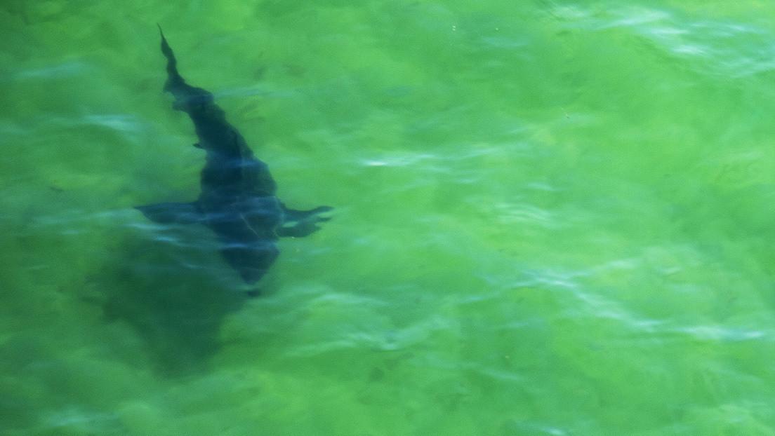 Un surfista gravemente herido por un tiburón nada hasta la costa y camina 300 metros en busca de ayuda