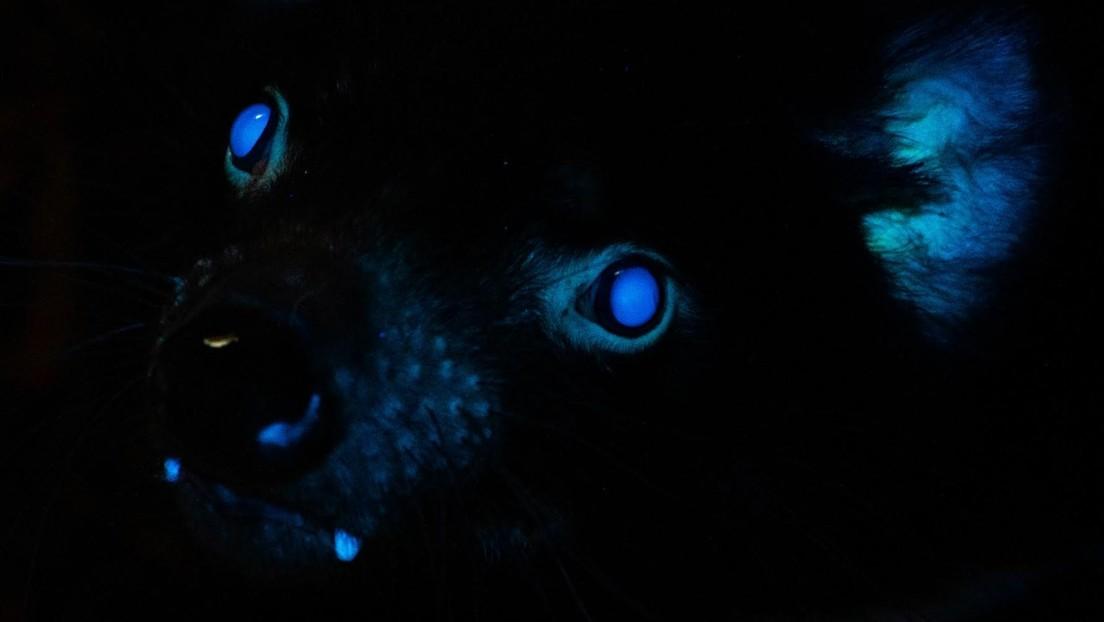 FOTO: Documentan por primera vez la biofluorescencia en demonios de Tasmania