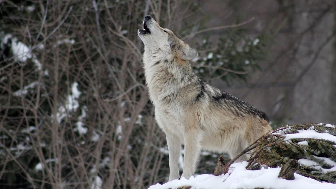 """VIDEO: Un lobo """"deprimido"""" rechazado por su manada camina sin parar por una misma ruta en forma de ocho para lidiar con su soledad"""