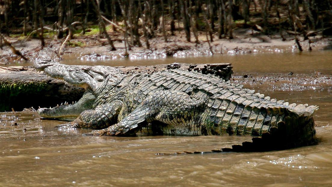 VIDEO: Un cocodrilo celoso ataca a una hembra por 'darle vuelos' a otro pretendiente