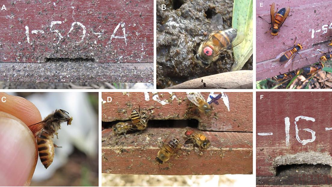 El 'arma secreta' de las abejas para luchar contra las avispas que las masacran