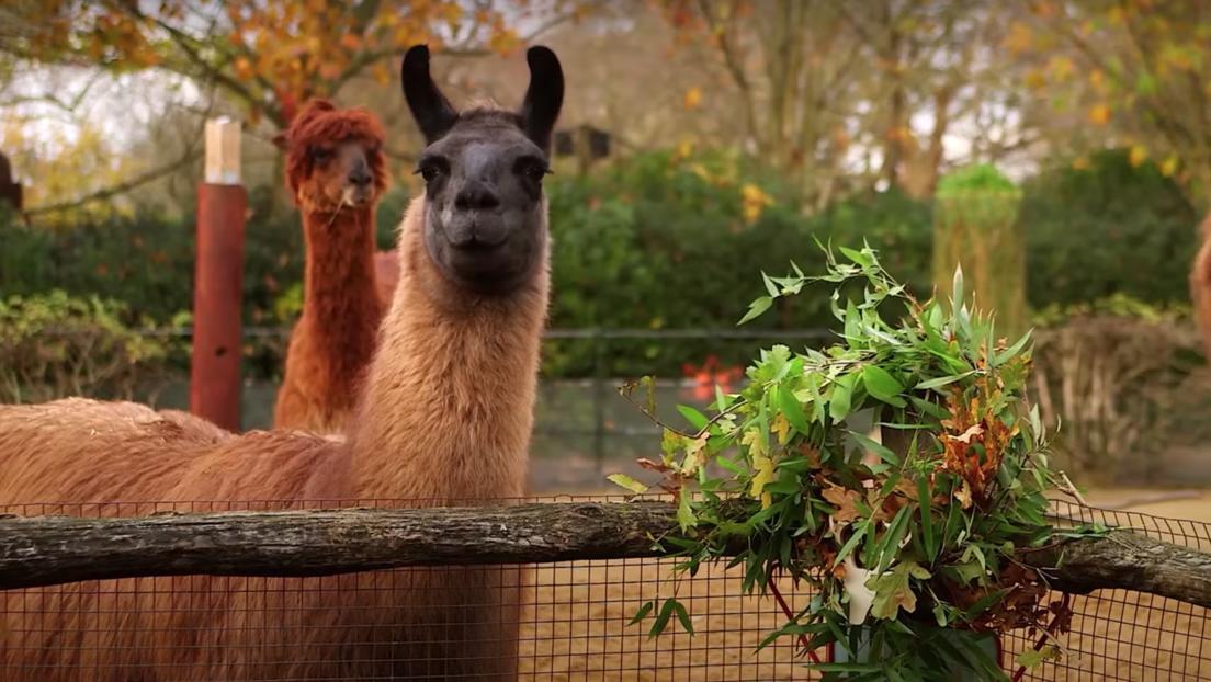 VIDEO: Dos llamas se comen las coronas navideñas en un zoo de Londres