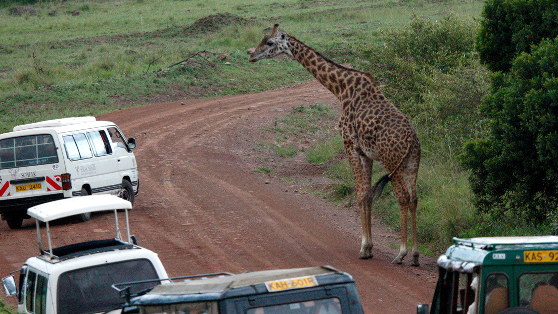 """""""Una aventura aterradora"""": una jirafa persigue y encara a un todoterreno en una reserva de Kenia (VIDEO)"""