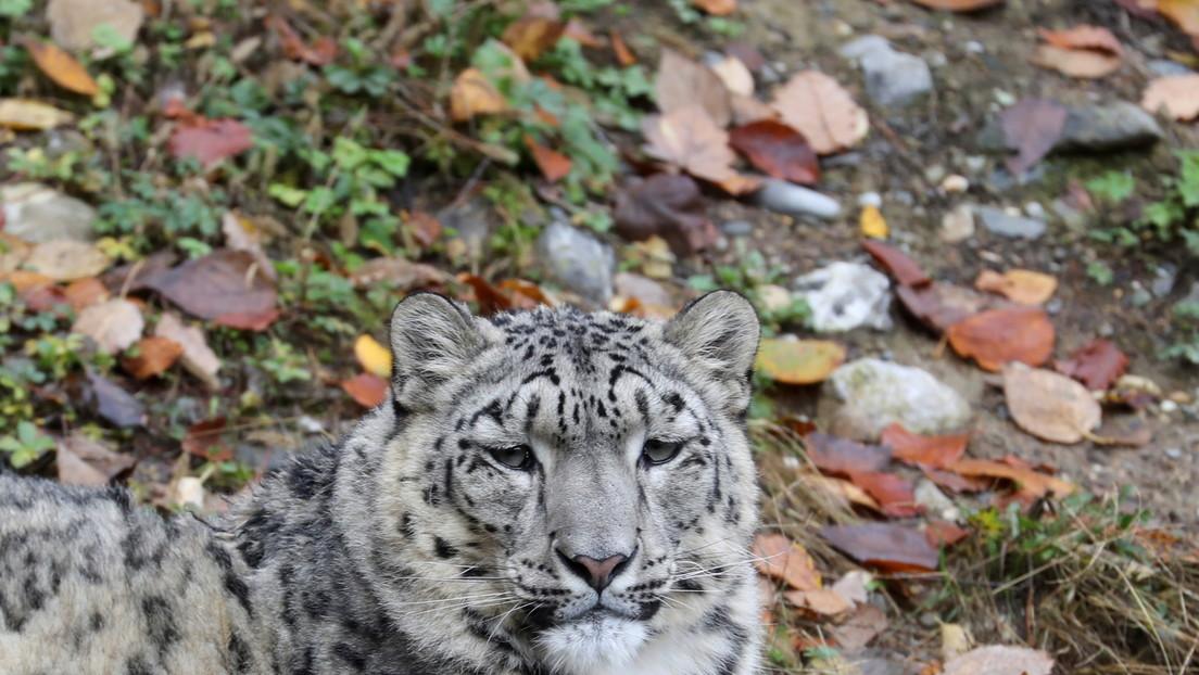 Un leopardo de las nieves da positivo por coronavirus en un zoo de EE.UU.