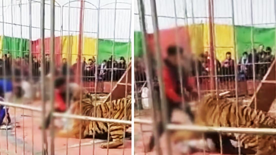 VIDEO: Un domador es atacado por un tigre de circo ante el horror del público