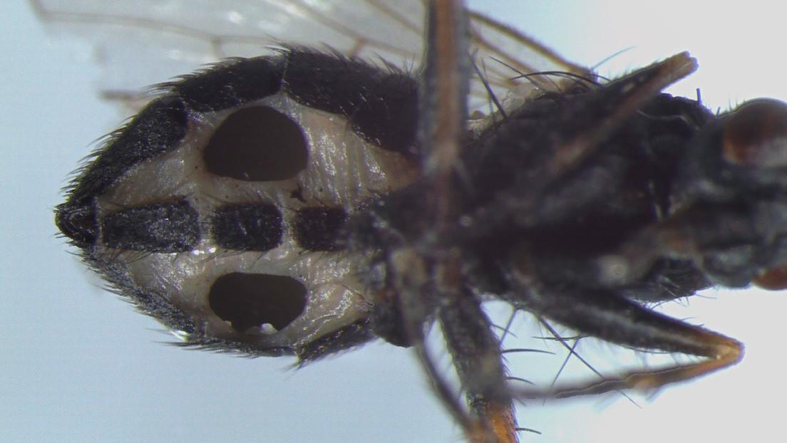 Descubren unos hongos que convierten a las moscas en 'zombis' y las devoran desde adentro