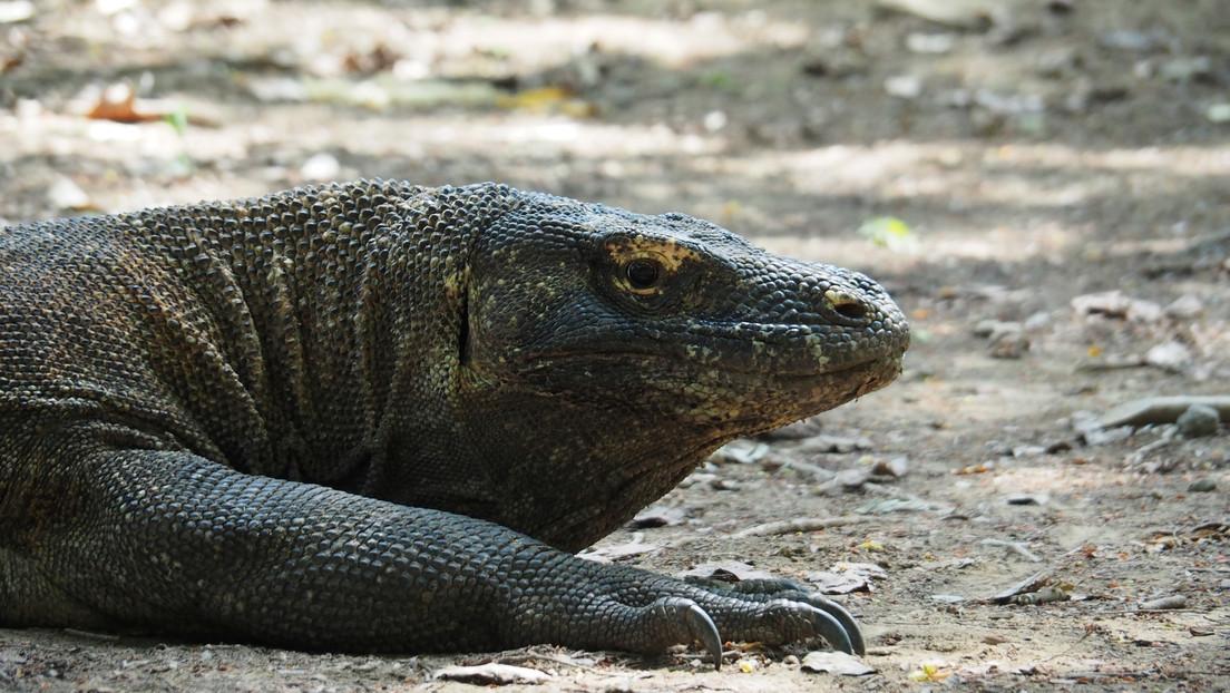 Un dragón de Komodo hiere de gravedad a un trabajador de la construcción de un polémico complejo turístico, desgarrando varias partes de su cuerpo