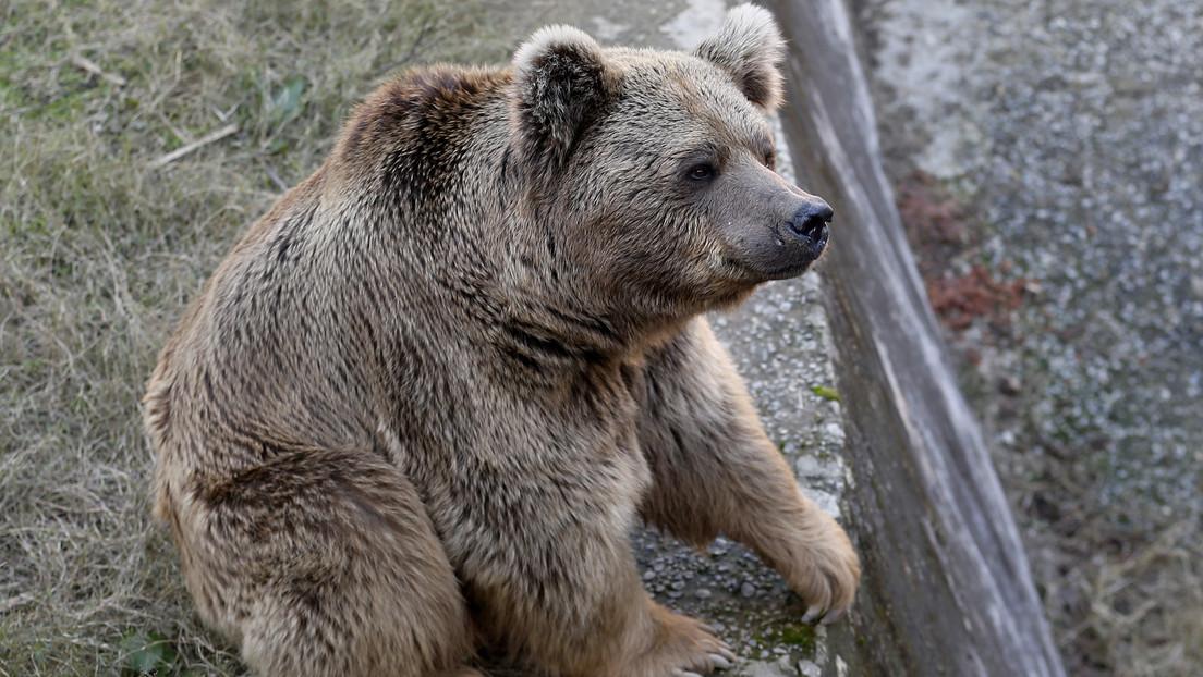 """Dos osos pardos, los últimos animales del zoológico pakistaní donde vivió el """"elefante más solitario del mundo"""", parten hacia un nuevo hogar"""