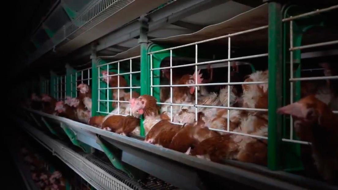 VIDEO: Una ONG revela crueles imágenes de gallinas enjauladas en una granja en España