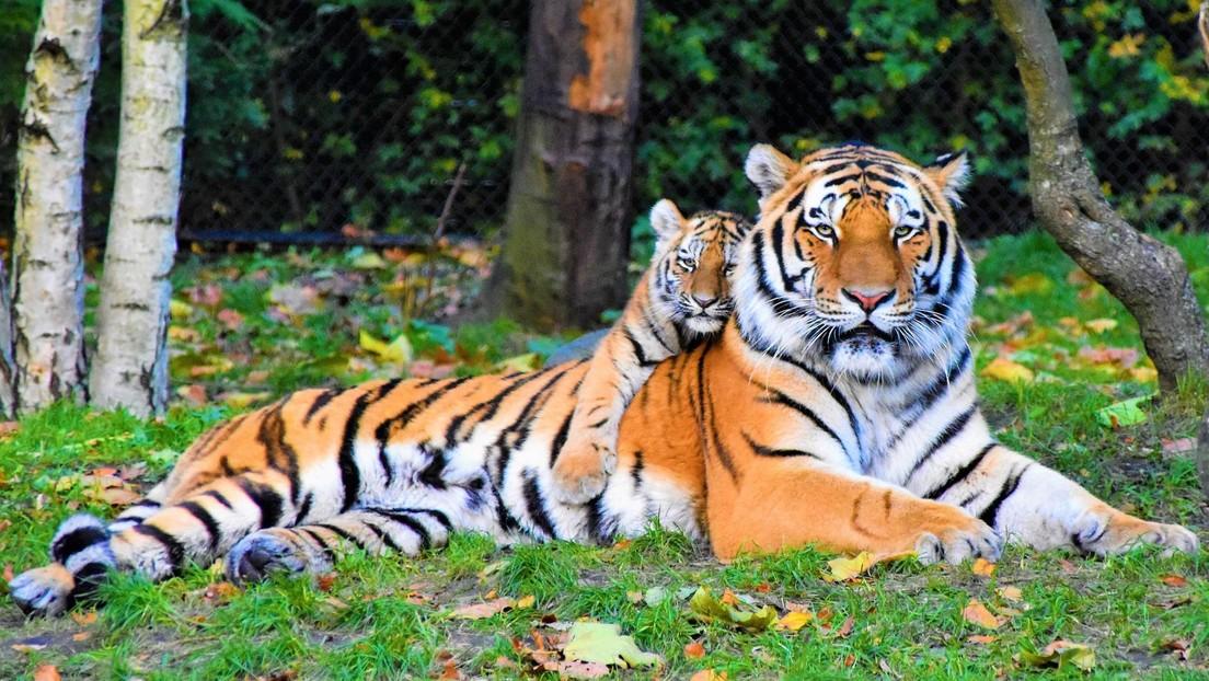 Un albergue para animales salvajes chino habría vendido pieles de tigres en peligro de extinción y elaborado un vino 'afrodisíaco' con sus huesos