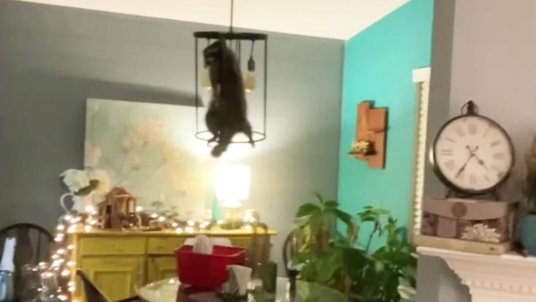 Regalo inesperado: descubre un mapache escondido en su árbol de Navidad (VIDEO)