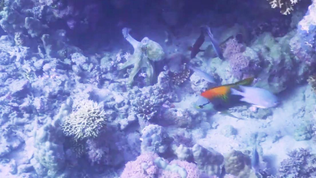 VIDEO: Científicos graban a un pulpo golpeando a peces y sugieren que lo hace por pura malicia
