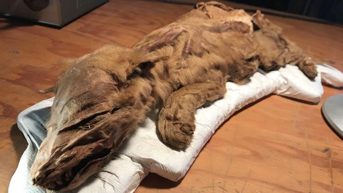 FOTOS: La momia de lobo prehistórico mejor conservada revela sus secretos