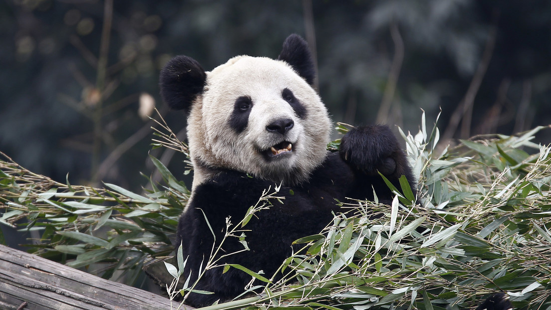 Muere osa panda más longeva, y en cautiverio, del mundo