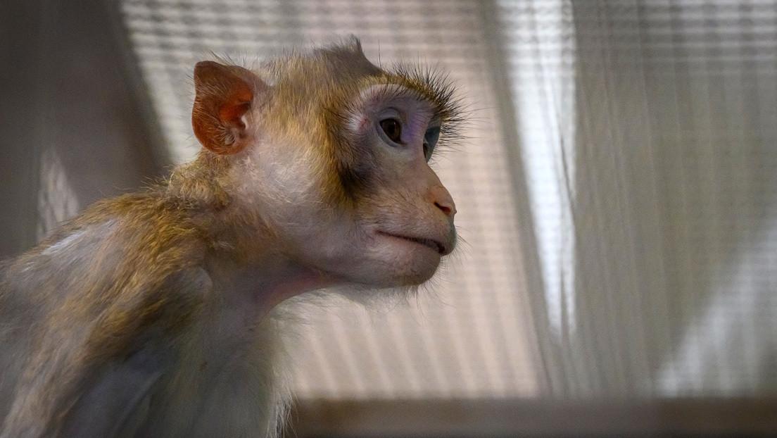 Revelan que 27 monos fueron sacrificados en un centro de la NASA en un solo día