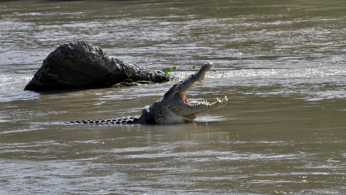 Captan el momento exacto en que un cocodrilo caníbal de casi 4 metros devora a un macho más joven (FOTO)