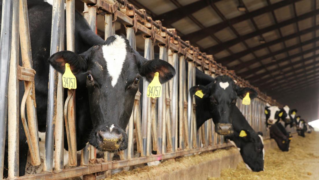 """Crean un nuevo 'pasto antigases' para el ganado: """"si se comercializa sería como sacar 100 millones de coches"""""""