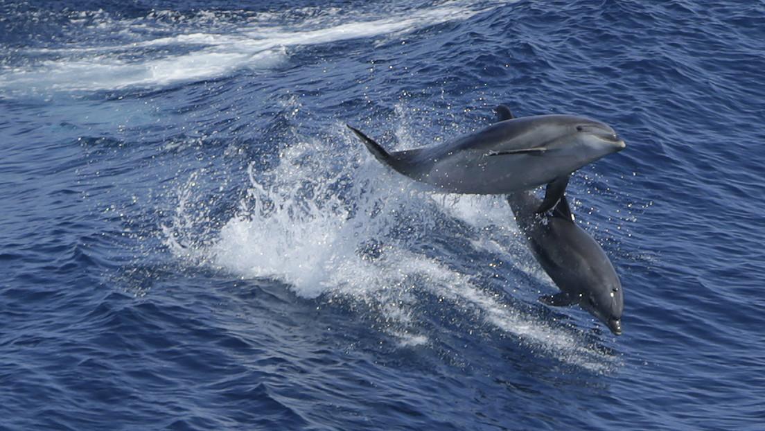 Vinculan una rara enfermedad en delfines con la disminución de la salinidad del agua debido al cambio climático