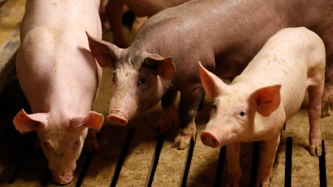Confirman que una variante del virus del Ébola es capaz de infectar a los cerdos y podría transmitirse a los seres humanos