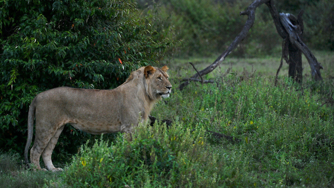 FOTOS: Investigador se defiende a codazos del ataque de un león y se salva de milagro