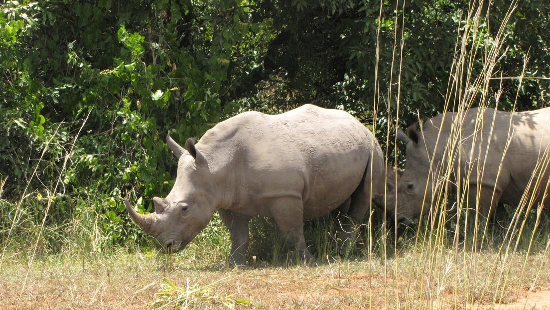 VIDEO: Un joven salta al recinto de los rinocerontes de un zoológico solo para hacer una voltereta y publicarla en TikTok
