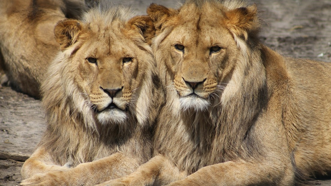 Dos leones matan a una niña que se adentró en un bosque en la India