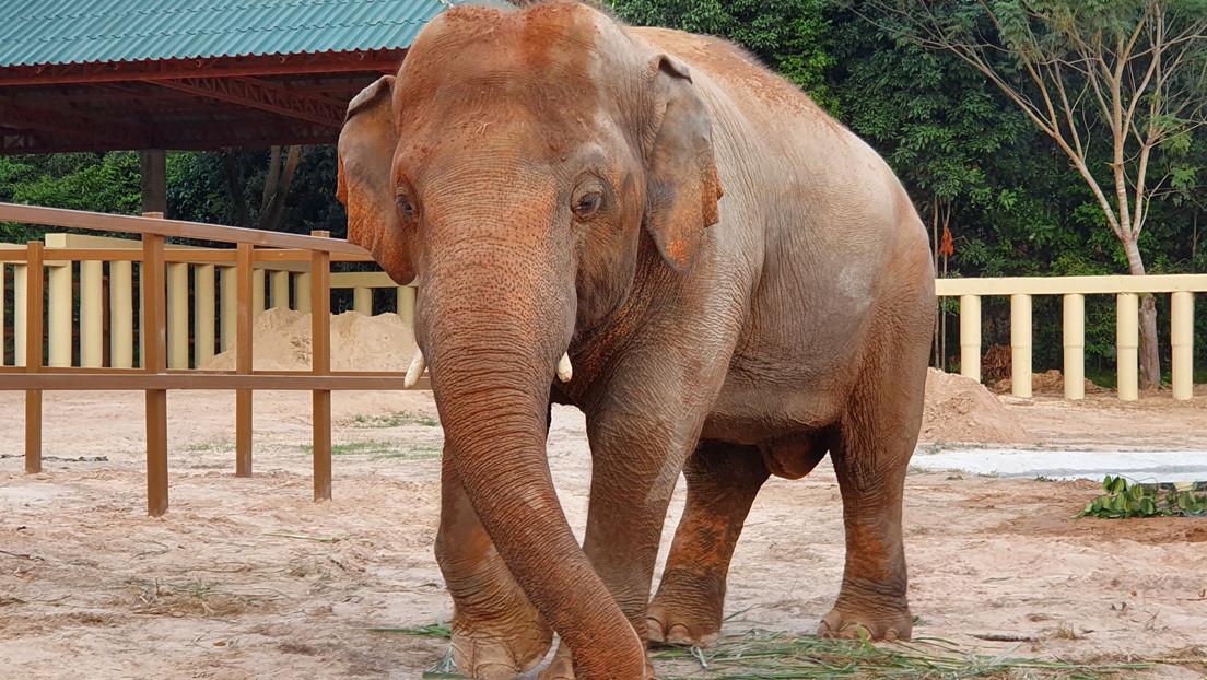 El 'elefante más solitario del mundo' se adapta a su nuevo hogar en Camboya y muestra interés hacia una hembra