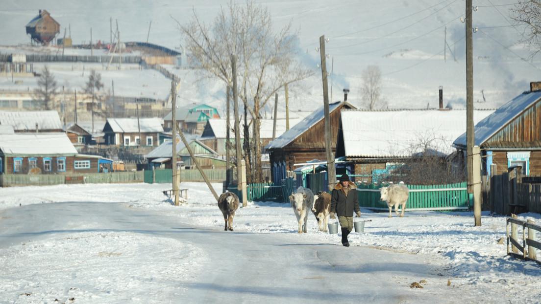 En el lugar más frío del planeta ponen sujetadores de piel a las vacas