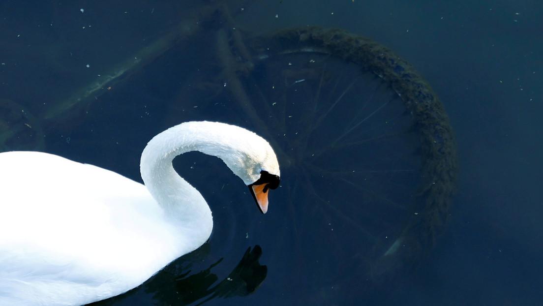 FOTO: Un cisne se planta en una vía férrea afligido por la muerte de su compañero y provoca el retraso de más de 20 trenes en Alemania