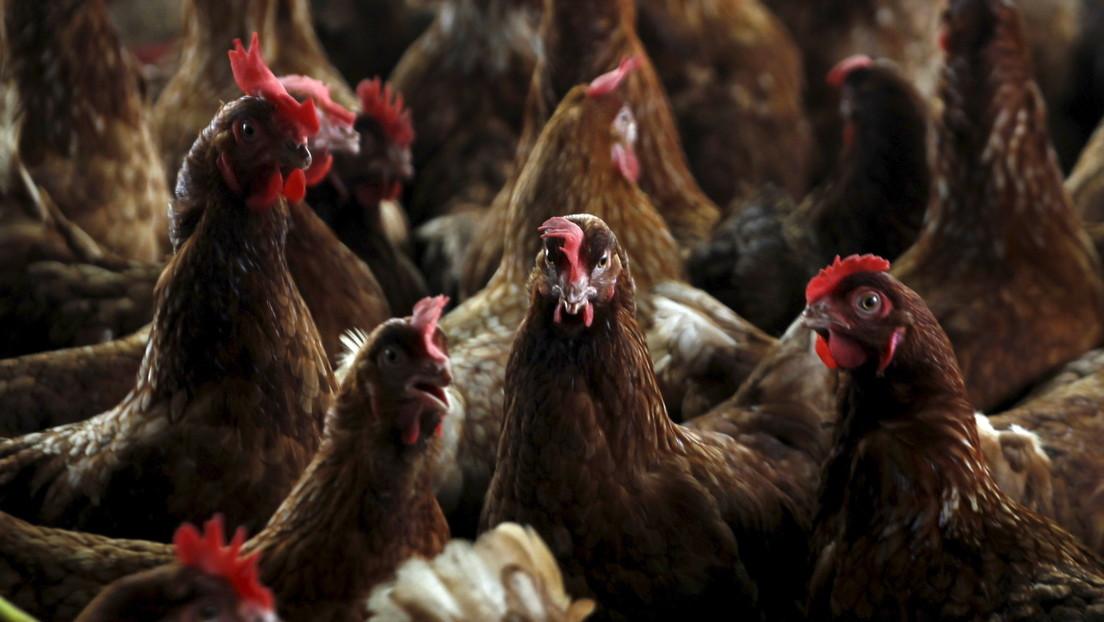 Francia ordena el sacrificio de aves de corral en casi 100 municipios para contener los brotes de gripe aviar