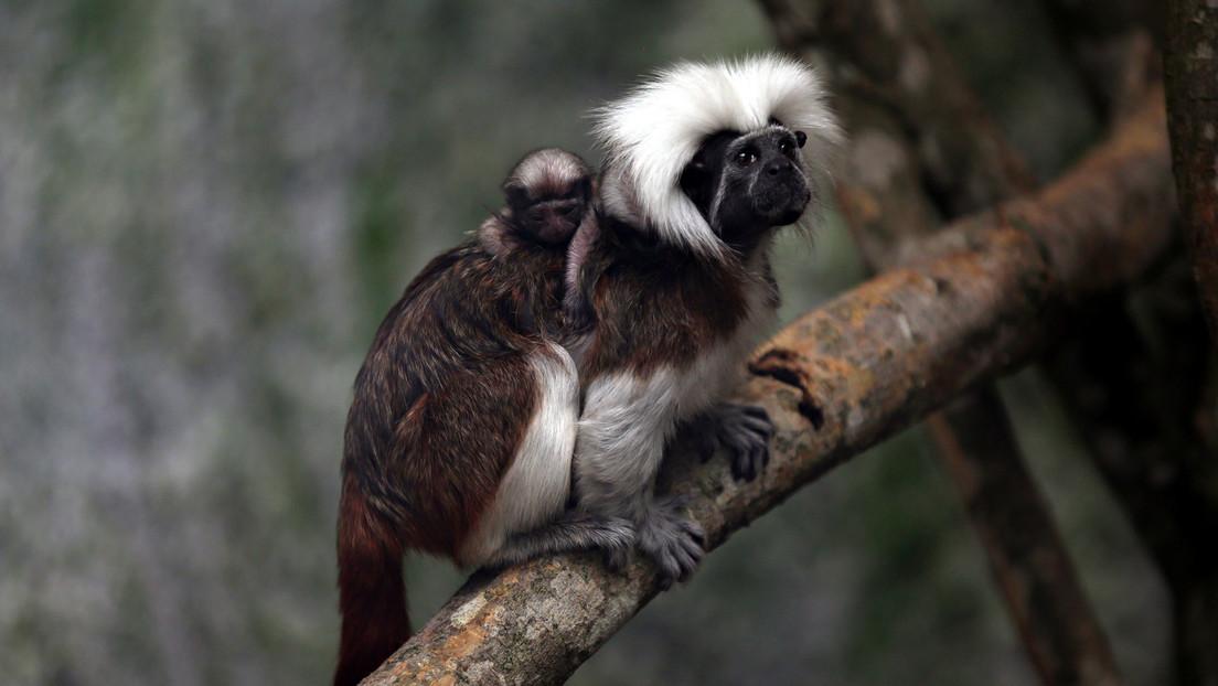 Descubren que, igual que los humanos, a los monos no les gusta dejar las cosas a medias