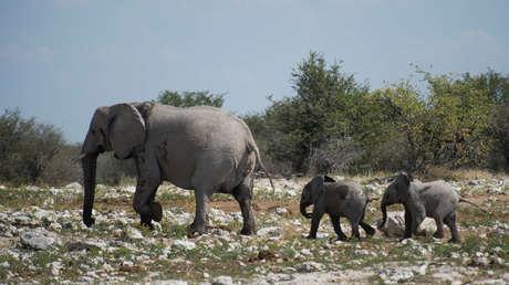 Namibia organiza venta de elefantes por el crecimiento de su población y los posibles conflictos con agricultores