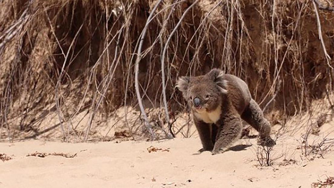 VIDEO: Un koala aparece en una playa australiana y deleita a los bañistas, pero una cuidadora de la vida silvestre afirma que estaba en pánico
