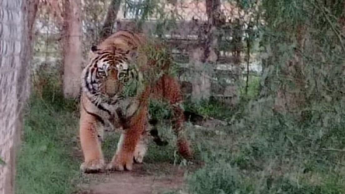 Autoridades mexicanas aseguran a una leona y dos tigres de Bengala de un domicilio del norte del país