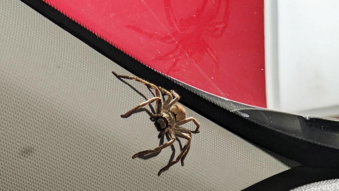 """""""Estaban haciendo una fiesta"""": Saca una enorme araña cazadora de su coche y se lo encuentra después lleno de telarañas (FOTOS)"""
