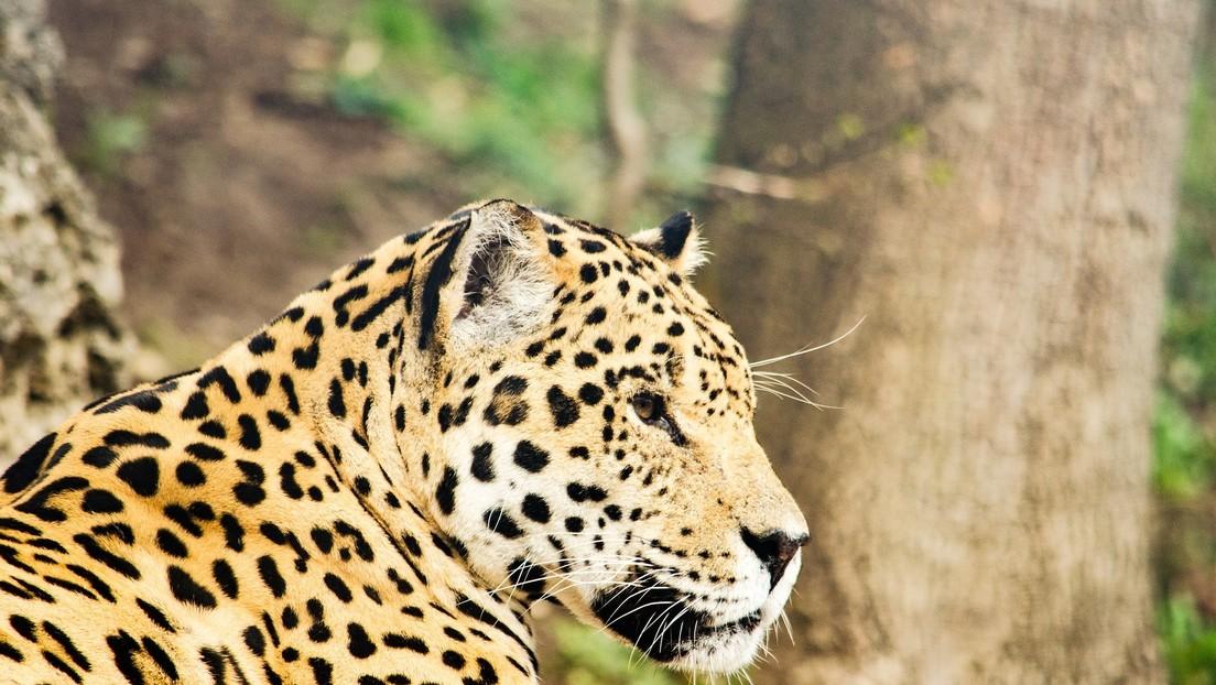 Imágenes desconcertantes: un jaguar mata a otro felino salvaje y los científicos culpan al cambio climático