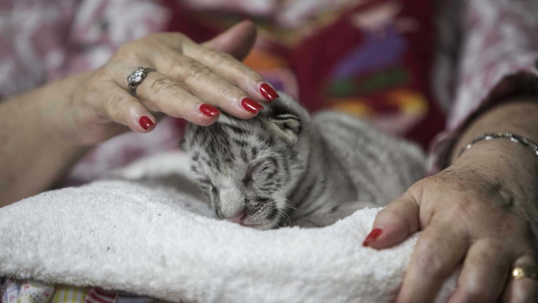 Conozca a Nieve, una rara y adorable tigresa blanca que nació en un zoológico de Nicaragua (VIDEO)