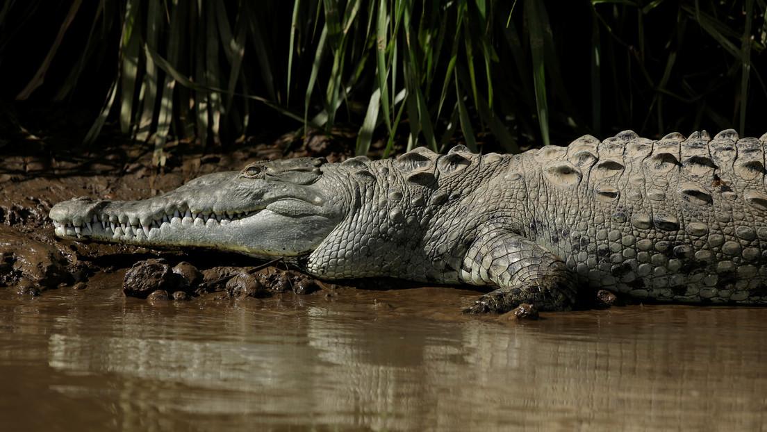 Científicos explican por qué los cocodrilos han cambiado tan poco desde la era de los dinosaurios