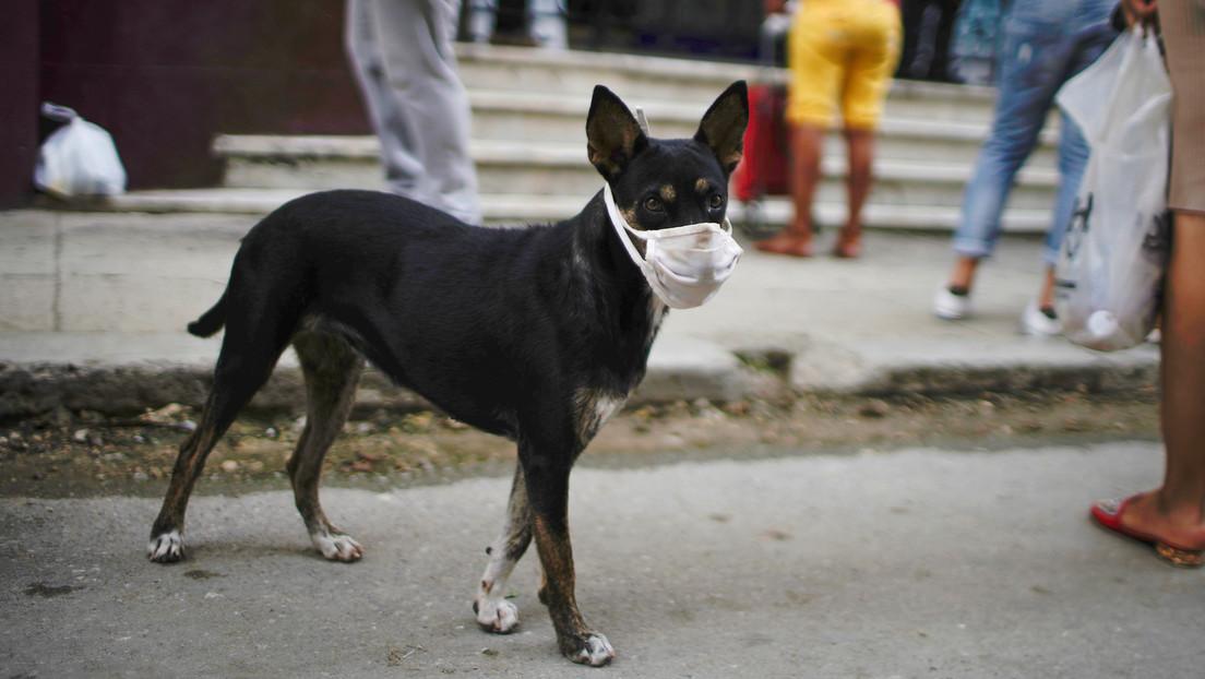 """Afirman que un """"coronavirus canino"""" está detrás de un brote de tos de las perreras en Canadá"""