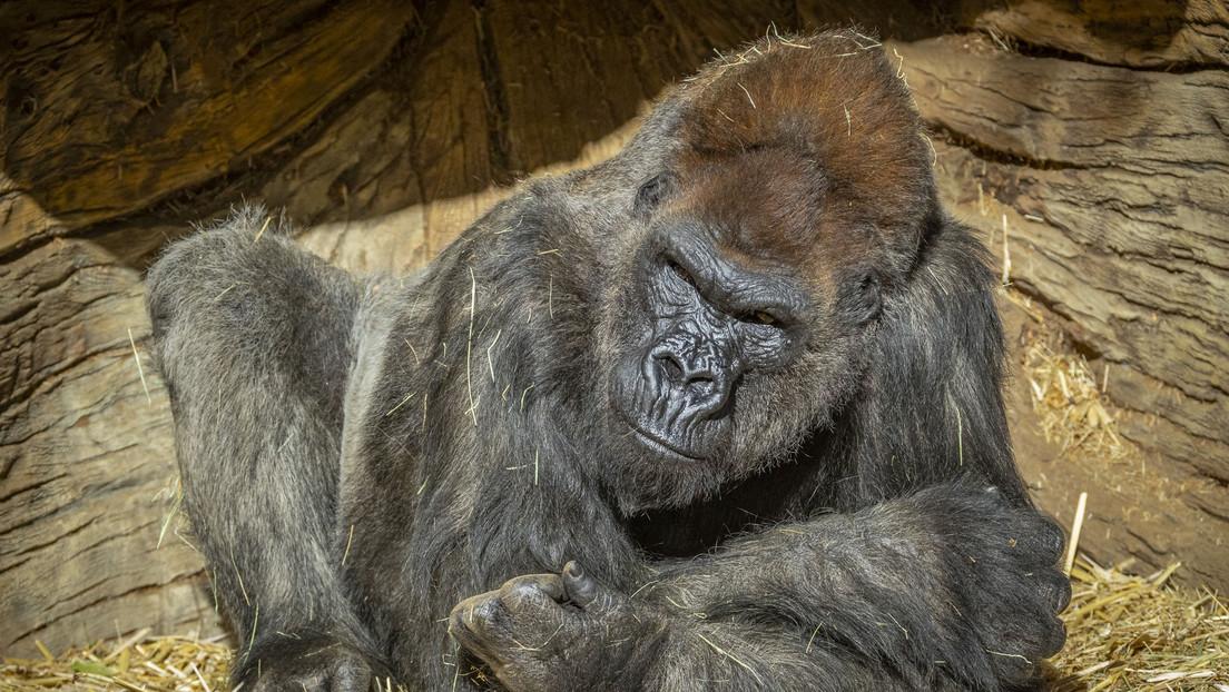 Se registran primeros casos de contagio con coronavirus en gorilas al dar positivo varios ejemplares en un zoológico de EE.UU.